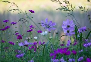 Wild Mauve and Purple Cosmos_905